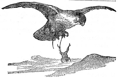 The Frog, being still fastened to the leg of the Mouse, was also carried off a prisoner, and was eaten by the Hawk.